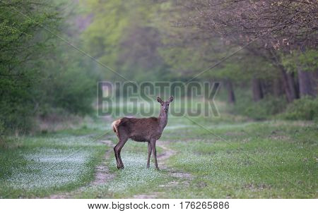 Hind Standing In Forest
