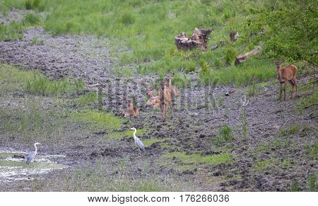 Hinds And White Herons Beside Pond