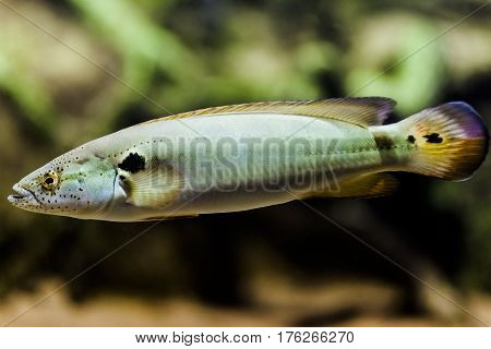 A Pike Cichlid fish (Jacunda) swimming in the aquarium.
