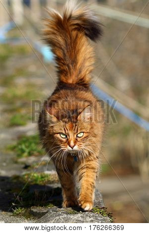 A fluffy tailed tabby cat out on the prowl