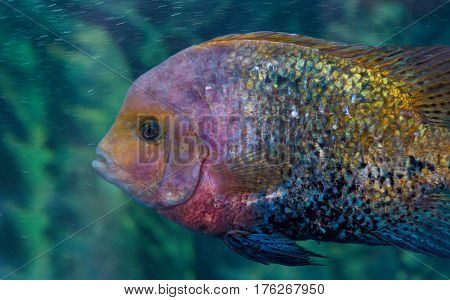 Herotilapia multispinosa (rainbow cichlid) is a aquarium fish that live in Central America