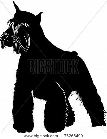 miniature schnauzer. Miniature Schnauzer dog. isolated on white background