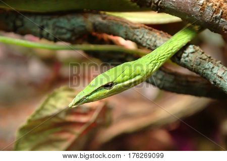 The green vine snake is diurnal and mildly venomous. The reptile normally feeds on frogs and lizards using its binocular vision to hunt