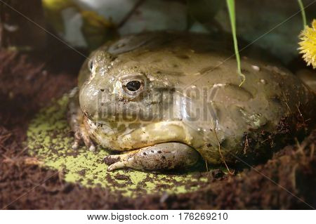 Cyclorana is a genus of frogs in the family Hylidae (tree frogs)