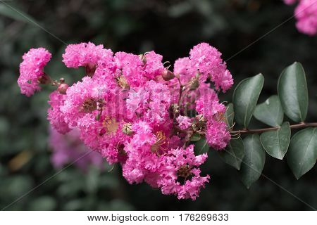 Beautiful pink rhododendron flowers on a branch.