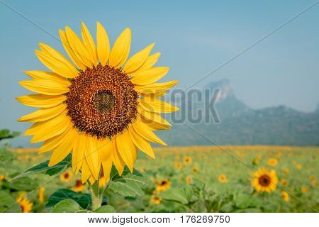 Beautiful sunflower plant in the field Thailand