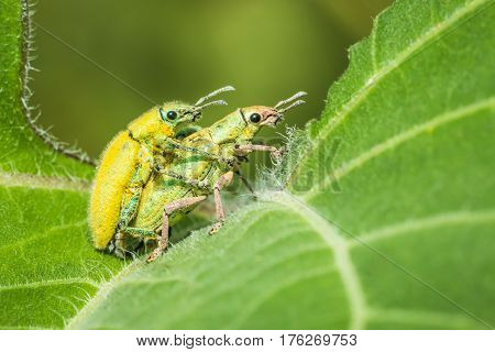 Insect are breeding on a green leaves.