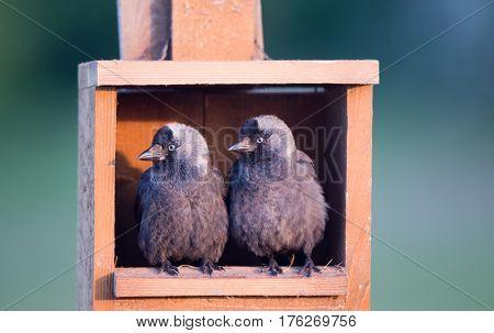 Daws On Wooden Nest