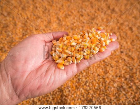 Corn seeds in hand with pile of ripe corn seeds in background.