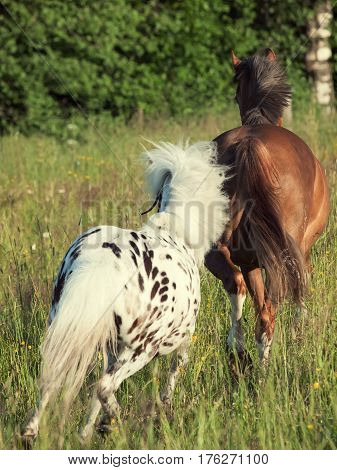 welsh pony and mini Appaloosa running in the field. back view