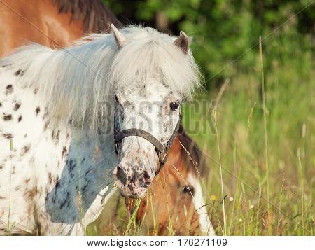 portrait of appaloosa pony in field at freedom