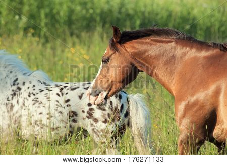 welsh pony and mini Appaloosa running in the field