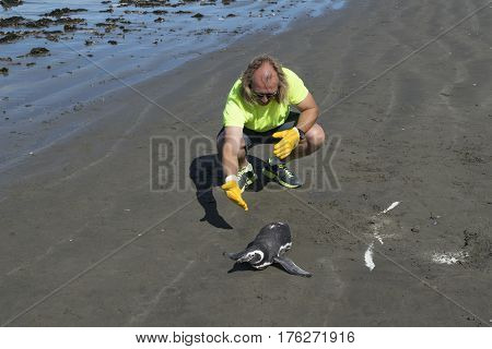 RADA TILLY, ARGENTINA, MARCH - 2016 - Vet inspecting emperor pengiun at shore of beach in Rada Tilly a seaside resort located in Chubut Argentina