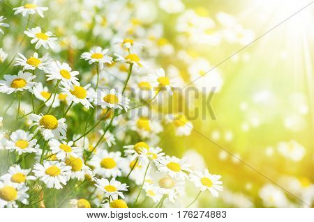 Summer background with beautiful daisies in sunlight. Blooming medical daisies.