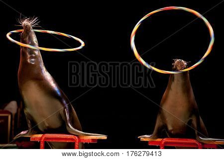 Circus Seal While Playing On The Black Background