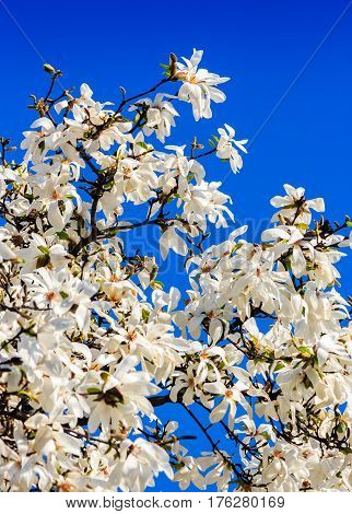 Magnolia Flowers On A Blue Sky Background