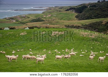 Sheep and lambs grazing on green meadow in the picturesque landscape of New Zealand