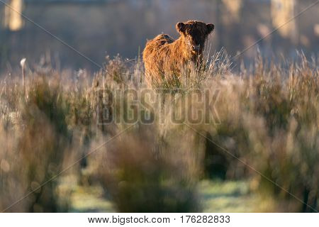 Highland Calf Standing In Tall Grass. Lit By Morning Sun.