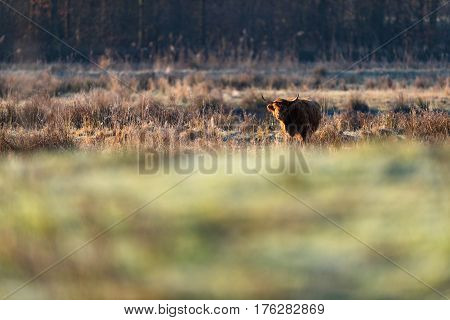 Highland cattle standing between the tall grass.