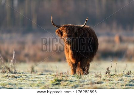 Highland Bull In Meadow On Cold Morning.