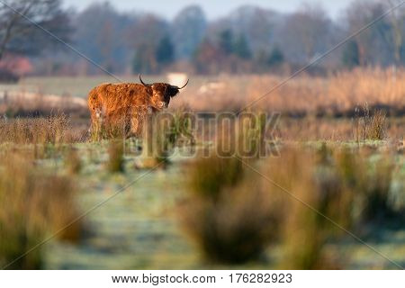 Highland Cattle Standing In Tall Grass Meadow.