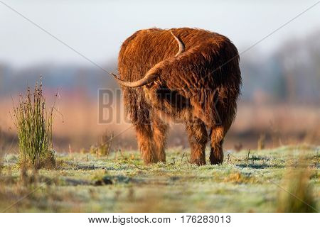 Highland Cattle Standing In Meadow Licking Its Fur.