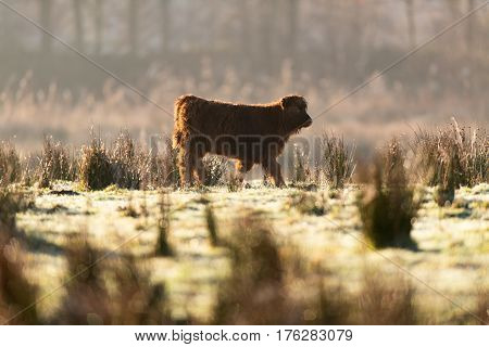 Highland Calf Walking In Meadow Backlit By Sunlight.