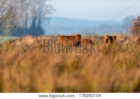 Highland Cattle In Meadow With Tall Grass Lit By Morning Sun.