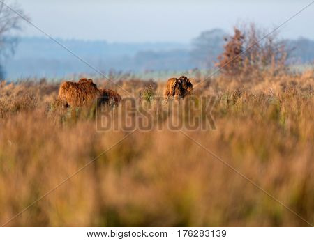 Highland Calf In Tall Grass Meadow Licking Fur.