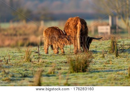 Highland Calf In Meadow Drinking From Mother Cow.