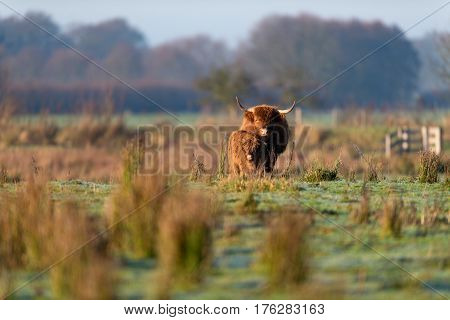 Highland Cow With Calf In Meadow Lit By Morning Sun.
