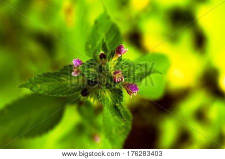 Peppermint or menta piperta herb as background focus closeup view from above