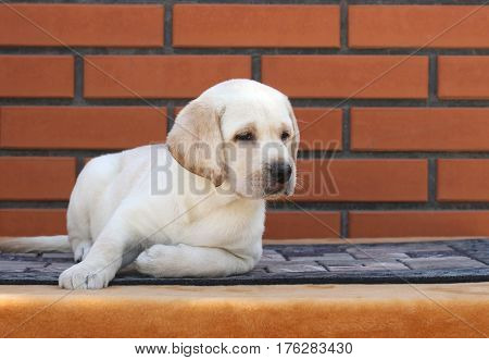 Little Labrador Puppy On A Brown Background