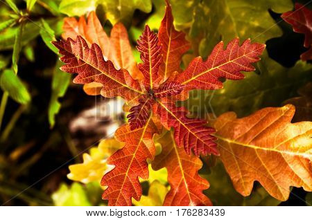 Red oak leaves on a contrasting nature background