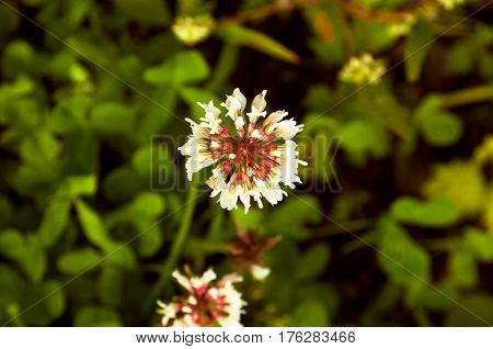 Trifolium pratense or Focus clover flower on a green grass impressive background closeup above view