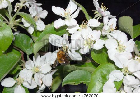 The Bumblebee Collects Nectar