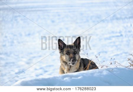 Shepherd dog with a distant gaze hiding in the snow cropped outdoor shot