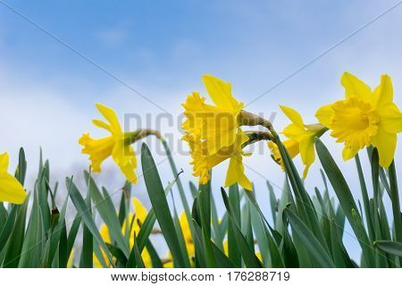 Spring awakening in the morning. Yellow Daffodils in spring. Spring Flowers. Yellow Flowers. Flowering daffodils. Blooming yellow narcissus flowers. Selective focus.