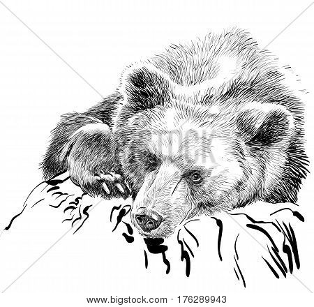 Brown bear. Bear head. Wild bear. Brown bear head. Green life. Wild life