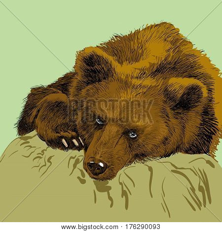 Brown bear. Bear head. Wild bear. Brown bear head. Green life. Wild life