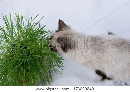 Green grass in a flowerpot. Cat eating grass useful