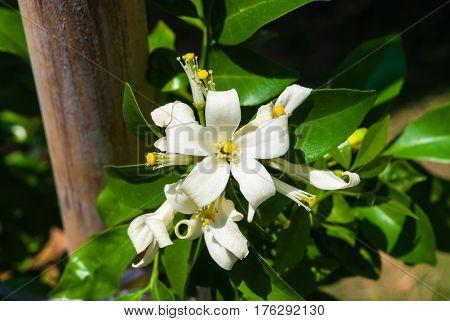 Closeup to Group of Beautiful Orange Jessamine Flower