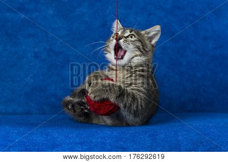 Kitty with red yarn ball, little grey tabby cat playing with skein of tangled sewing threads on blue background