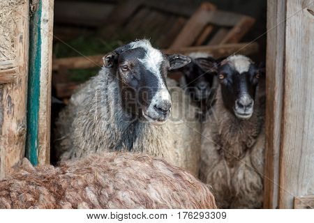 Sheeps In The Doorway Of The Barn. Herd Of Pet On Farm.