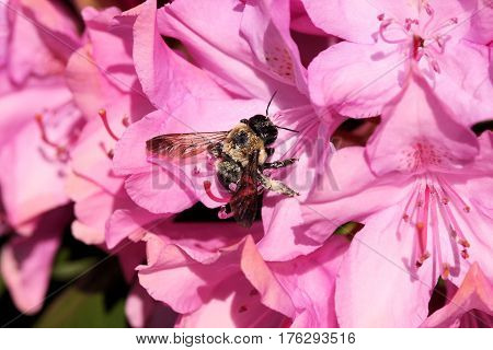 Hard working pollen covered bee working on a large group of pink flowers on a sunny spring day.