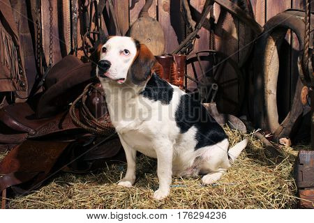 Older beagle sitting on a bale of hay in an old barn.