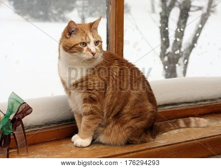 Large older orange and white cat enjoying the warmth of being indoors during a snowstorm.