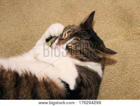 Large older female cat hugging her catnip filled toy pillow.