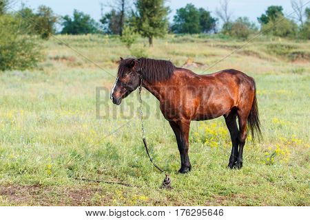 Brown horse in the field, Brown horse eating grass on the field
