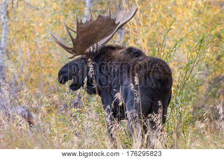 a bull shiras moose during the fall rut in Wyoming